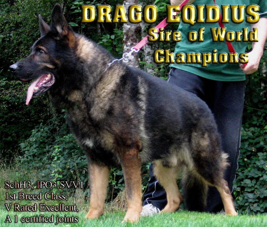 Drago Eqidius German Shepherd Dog Van Den Heuvel K9